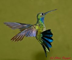 The Napo Sabrewing Hummingbird (Campylopterus villaviscensio) is a species of hummingbird in the Trochilidae family. It is found in Colombia, Ecuador, and Peru. Its natural habitat is subtropical or tropical moist montane forests. It is becoming rare due to habitat loss. Avianphotos Galleries - Chris Fagyal