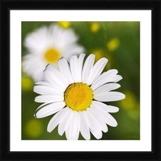 English Daisies by Christina Rollo © www.rollosphotos.com. Macro photograph close-up of beautiful English Daisy flowers in square format, with bright yellow center and delicate white petals against green background in summertime. #white #flower #art