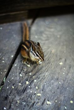 We have seen at least two entry and exit points for the chipmunks underneath our house.