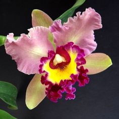 Kumihimo color inspiration - fab colors, combinations and palettes: OA Orchid Cattleya Unnamed Lost Tag Well Established Lovely Plants Most Beautiful Flowers, Rare Flowers, Exotic Flowers, Tropical Flowers, Pretty Flowers, Flowers Uk, Orchid Flowers, Plante Carnivore, Types Of Orchids