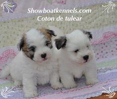 Coton de tulear puppies for sale 706-975-1127 #cotonbreeders#cotondetulearpuppiesforsale#cotonpuppiesforsale#cotondetulearpuppiesforsalegeorgia#
