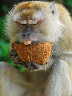 ~~ Monkey and Coconut by Nader Alhareedi -  so that's how you eat a coconut!!! ~~