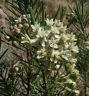 Pine-leaf milkweed Asclepias angustifolia - Google Search