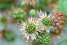 Van Raaijen Hoveniers, frambozenstruik, herfst in de tuin, herfst, Rubus Idaeus