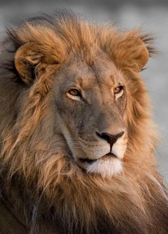 Beautiful Lion, Animals Beautiful, Cute Animals, African Cats, African Animals, Planeta Animal, Lion King Pictures, Lion Photography, Lions Photos
