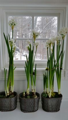 Paperwhites, my favorite flower at Christmas.