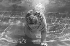 I love tigers and this is great!  Be sure to click on the photo and watch the short video clip.