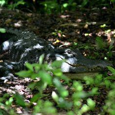 Dort wo Alligatoren deinen Weg kreuzen.  In Europa findet man schon oft einige Straßen, die Tiere überqueren. Igel, Schildkröten, Wildschweine oder Hirsche. Aber Alligatoren, die auf der Straße laufen, haben wir noch nie gesehen. In den Everglades in Florida kann genau das passieren. Dort wimmelt es nur so von Alligatoren.