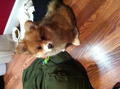 Pomeranian mixed with Corgi. I might have one of these on the way! :D