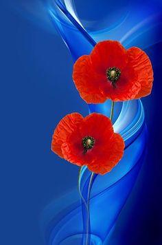 Poppy, Poppy Flower, Composing