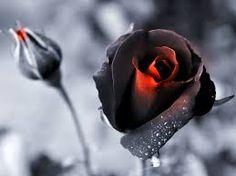 Картинки по запросу rosas con gotas de agua