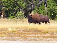 Wild buffalo of Yellowstone