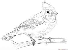 How to draw a Blue Jay | Step by step Drawing tutorials