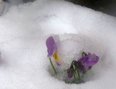 This is a pretty normal Finland Spring! A few sunny days, then a terrible snowfall covers the first violets.
