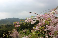 奈良の社 大美和の桜吹雪と大和三山