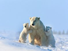 """이제 막 겨울잠에서 깨어난 북극곰 가족이다. 사진작가 토마스 코쿠타(Thomas Kokta)가 지난 겨울 캐나다 매니토바에서 찍은 사진이다. 사진이 발표된 Caters News Agency에 따르면, '매니토바'는 촬영허가가 쉽지 않은 지역이며 """"이제 막 보금자리에서 나온 아기 북극곰을 찍은 사진작가는 전 세계에서 500여명이 안된다고 한다."""" 심지어 이 사진 속 북극곰 가족의 아이들은 세 쌍둥이다."""