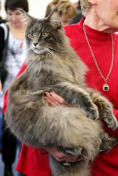 Maine Coon cat - Maineflame Brian Barou http://www.mainecoonguide.com/where-to-find-maine-coon-kittens-for-sale/