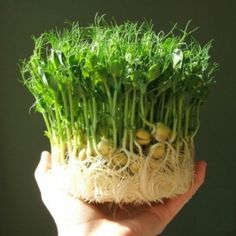 How to grow pea shoots without soil - this is from the Clay like website using GAIA growing pots but could easily be adapted to clay pot bases from garden centres for those of us not lucky enough to have one of their lovely sets.Pea sprouts are a gre Hydroponic Gardening, Hydroponics, Container Gardening, Organic Gardening, Balcony Gardening, Urban Gardening, Gardening Blogs, Growing Microgreens, Growing Vegetables