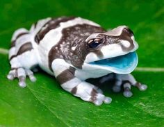 Helpful Milk Frog Summon : Heals a moderate amount of dmg reduces negative mental status effects and gives stronger bones Mandrill Monkey, Frog Facts, Amazon Animals, Curly Horse, Pet Frogs, Stingray Fish, Pallas's Cat, Pomeranian Husky, Husky Mix