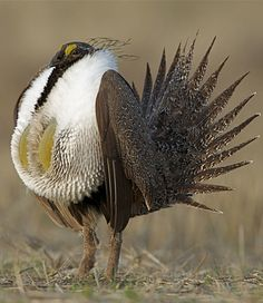 Greater sage-grouse are uniquely adapted to the sagebrush steppe. Today they live from Wyoming to Oregon, from southern Canada to southern Utah. The bird has been extirpated from half of its former range. In the past 60 years sage grouse numbers have dropped 66%. On the breeding lek in spring, males fan their spiky tail feathers behind them and puff out bulbous yellow air sacs, normally hidden in their white ruffs. Western Landscape, Grouse, Game Birds, Last Dance, Bird Pictures, Wild Birds, Birds 2, Exotic Birds, Beautiful Birds