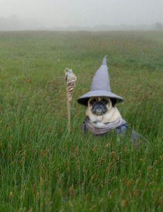 Lol pug Gandalf!
