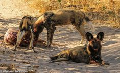 So who says you have to leave camp to have an amazing sighting. DumaTau GM Johan reports that the Zib Pack of wild dogs decided that it would be a fine idea to take down an impala right next to the workshop. Today our guests did not have to drive very far to witness something truly special.... Chobe National Park, National Parks, Luxury Tents, Wild Dogs, Tent Camping, Impala, Wilderness, Safari, Workshop
