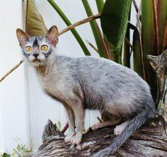 NEW BREED OF CAT  -Lykoi Cat