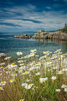Shoreline Yellow Daisies in Acadia National Park on Mount Desert Island in Maine A Fine Art Seascape Flower Vertical Photograph Image Nature, All Nature, Nature Photos, Acadia National Park, Parc National, Places To Travel, Places To Visit, Photos Voyages, Beautiful Landscapes
