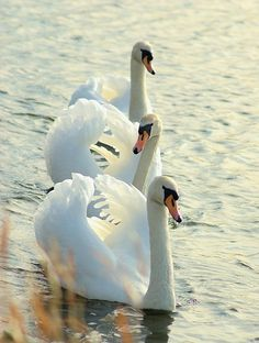 Mute Swans (Cygnus olor) Europe and Asia