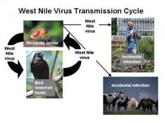 City of Los Angeles in California - Is Climate Change To Blame For This Year's West Nile Outbreak?    According to the Centers for Disease Control, there have been over 1100 reported cases of West Nile virus disease in the US this year, including 42 deaths. If these numbers seem high, they are – in fact, it's the highest number of reported cases since West Nile was first detected in the US in 1999, and West Nile season has just begun. Given that the peak of West Nile epidemics generally…