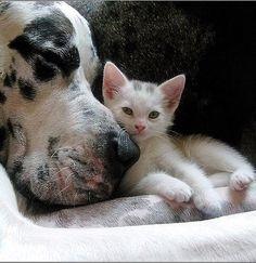 Great Dane snuggling with kitten