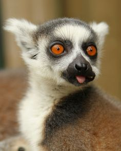 Baby Ring Tailed Lemur from Madagascar