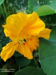 Nasturtiums (Garden of Len & Barb Rosen)