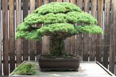 The 400 year old Bonsai that survived the Hiroshima Bombing  - http://earth66.com/botanical/400-year-old-bonsai-survived-hiroshima-bombing/
