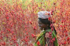 Une agricultrice de fleurs d'hibiscus au Sénégal