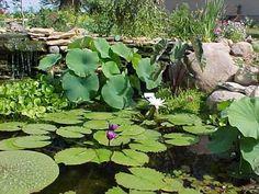 Plantas para estanques - Tendenzias.com