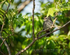 Catbird on the Prairie -  Gray Catbird (Dumetella carolinensis) | Show Me Nature Photography