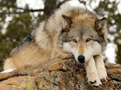 Go to a wolf sanctuary where you can go into the wolf cage with the wolves (Wild Spirit Wolf Sanctuary)
