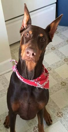 Red Doberman