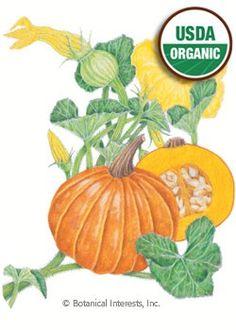 PLANTED: Squash Winter Gold Nugget Organic Seed (85 day) (AKA Oriental Pumpkin)