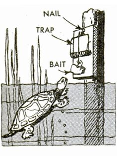 "Rattraps Murder Turtles ""Spring-type rattraps are an effective means of disposing of turtles which menace game fish in a pond or lake."" An illustration shows a turtle about to bite a chicken head in a trap mounted to a post set in shallow water. Sorry, tu"