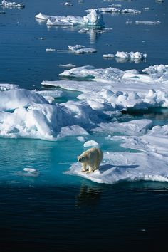 URGENT! HELP STOP THE ATTACKS TO POLAR BEARS!  Tell your representatives to oppose the Whitfield-Manchin Polluter Protect Act!  Members of Congress are about to vote on a reckless bill that protects polluters & jeopardizes the critical progress the EPA is taking on climate change.  PLZ Sign & Share!