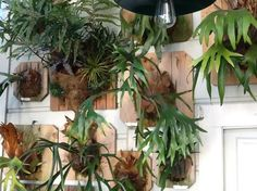 Staghorn Ferns mounted on wall