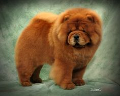 Chow Chow Puppies .