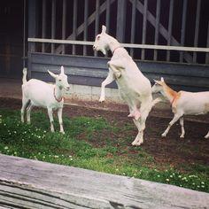 立ち上がりからの体をぶつける技を使うヤギ(°_°) 面白い  #動物  #ヤギ  #面白い