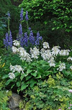 Garden border plants: Hosta montana with Aconitum 'Blue Valley' behind