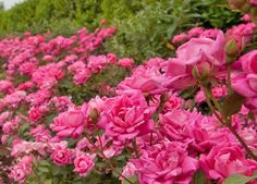 The Double Pink Knock Out Rose is one of the most popular flowering plants, and there are many reasons why. Amazing Gardens, Beautiful Gardens, Double Knockout Roses, Garden Oasis, Garden Fun, Landscaping With Roses, Smith Gardens, Formal Garden Design, Garden Beds