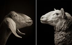 majestic portrait-style photography of sheep & goats by Kevin Horan at http://www.thisiscolossal.com/2014/11/majestic-black-and-white-studio-portraits-of-goats-and-sheep-by-kevin-horan/