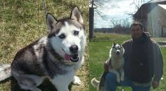 #LOSTDOG 5-11-14 #STJOHNS #MI #SIBERIANHUSKIES TWO FEMALES SAYGE-BLACK & WHITE 4 YEAR OLD IZZY-GRAY & WHITE W/DARK STREAK ON FACE 1 YEAR OLD PINK COLLARS 918-808-5176 https://m.facebook.com/story.php?story_fbid=10202112543238650&id=1339897655
