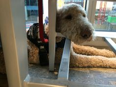 City relaxin. Boston MA. Apricot standard poodle working dog